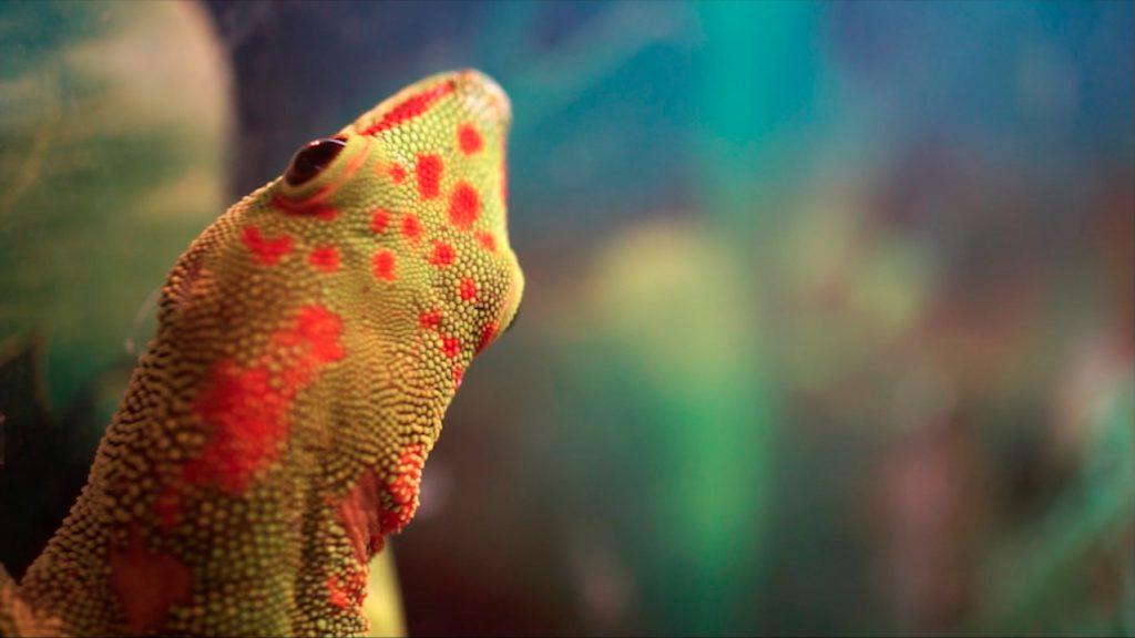 single-lizard